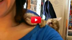 This little fur ball thought she found the ultimate nap spot on her owner's shoulders. Turns out it's a little precarious! Watch as this adorable kitten slowly drifts off to sleep...