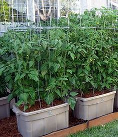 Now, anyone can grow the BEST tomatoes in containers...and conserve water. Has a step by step PDF instruction and also a step by step video.