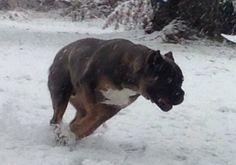Cane Corso Fun in the snow