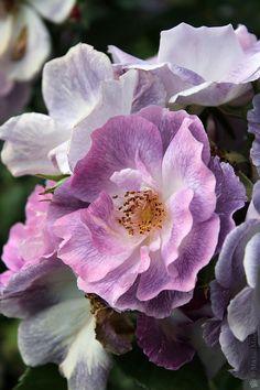 Rose 'Blue for You' Floribunda