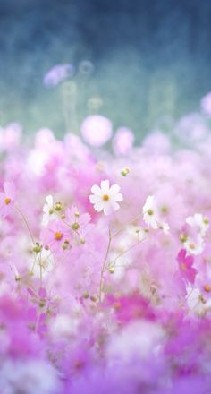 Here by Yusuke Kitamura - Photo 127360165 - Beautiful Flowers Wallpapers, Most Beautiful Flowers, Love Flowers, Wild Flowers, Flower Backgrounds, Flower Wallpaper, Cosmos Flowers, Pink Painting, Fotografia Macro