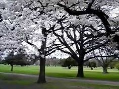Views of Little Hagley Park and Harper Avenue. The blossom trees are Yoshino cherries (Prunus x yedoensis). Blossom Trees, Cherry Blossom, Prunus, Spring Is Here, New Zealand, Audio, Park, Youtube, Flowering Trees