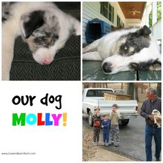 I'm doing a chain of animal posts. I've written about Our Turtle, our Cats and now finally our dog Molly. Molly is an Australian Shepherd. Live And Learn, 10 Year Old, Australian Shepherd, Creative Writing, Dog, Learning, Cats, Animals, Red Tri Australian Shepherd