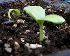 seed starting helpful information, including causes of weak seedlings...