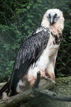Lammergeier (Bartgeier) Vulture.