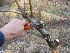 1 - (It) La potatura del salice che servirà a legare le viti. (En) The pruning of a willow that will be used to tie up our vines.