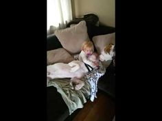 American Bulldogs and 2yr old little girl