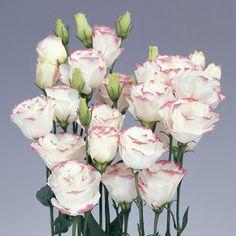 Eustoma (Lisanthus) Pink & White - Rosetta Pink Picotee Bianco