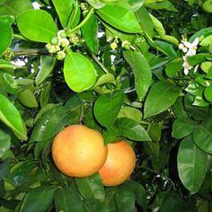 Grapefruit on the vine