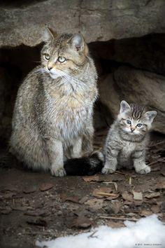 Mommy & me / Mama und Ich | European Wildcat - Europäische Wildkatze ( Felix silvestris silvestris ) von missgarfield83