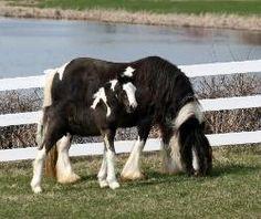 gypsy tinker horse