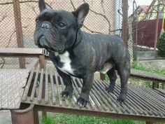 Bush-the french bulldog