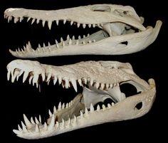 Crâne de Crocodile du Nil / Nile Crocodile Skull (Crocodylus niloticus)