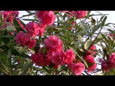 LA ADELFA: Nerium oleander (http://riomoros.blogspot.com.es)