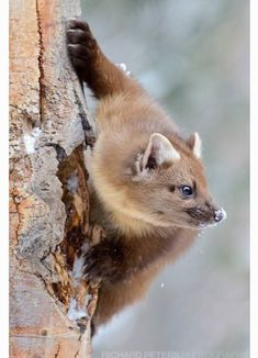 I haven't been very active in the images section for a while so thought I'd share a couple of Pine Marten images from Yellowstone. Creepy Animals, Animals And Pets, Funny Animals, Cute Animals, Animal Fun, Wildlife Photography, Animal Photography, Pine Marten, Tier Fotos