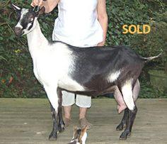 1*M Brankton Karson's Chanel Mountain Star Farm, Weaverville, NC
