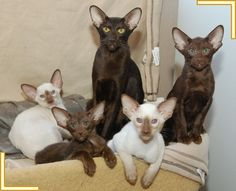 Cute family photo of some of the Burnthwaites Oriental and Siamese Cats. http://www.burnthwaitessiamese.co.uk/