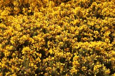 yellow plants