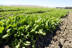 Photo about Fresh young spinach in a field in Central California ready for harvest. Image of farmland, farming, farm - 2929129 Central California, Greek Gods, Flyer Design, Vegetable Garden, Agriculture, Spinach, Harvest, Vegetables, Plants