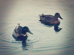 ©Sarah Abdullah Photography/13  Charlton's Pond - Mating Season