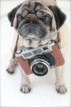 Pugtographer! I think we would be best friends. Time to get Bruce a camera. :D