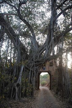 A 500 year old banyan tree integrated with an old fort gate in Ranthambhore National Park, India.