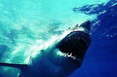 The world's greatest marine predator: the great white shark!