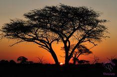 Umbrella Thorn Sunset by Jason Wharam