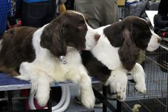 westminster springers | English Springer Spaniels