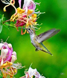 Classic Poise - Female Anna's Hummingbird by AzureWindProductions on DeviantArt