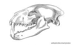 medvědí lebka - - Yahoo Image Search Results