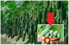 Toto je pár zásad pestovania kvalitných, silných a najmä chutných uhoriek nakladačiek, ktoré nie sú horké. Metóda racionálneho pestovania – žiadne hnojivá z obchodu, choroby a 3x vyššia úroda Stačí dodržať pár zásad a využiť staré a dobre overené recepty na domácu výživu, s ktorou získate úžasný výsledok. Na začiatok pár zásad! Urobte záhony s... Cactus Plants, Vegetables, Cactus, Vegetable Recipes