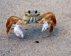 Ghost Crab.  These skittle to and fro and dart in and out of their tunnels, as far as I know, from Virginia Beach south down to Hatteras, if not farther. I Love The Beach, Beach Fun, Beach Trip, Virginia Is For Lovers, Crabs, Virginia Beach, Skittle, Ocean Life, Under The Sea