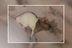 Ferret, Rats, Animals, Animales, Animaux, Ferrets, Animal, Animais, European Polecat