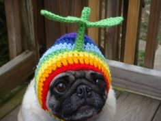 Pickles is wearing the latest in Rainbow Beany-copter pug croquet hat wear