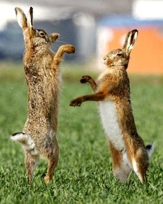 Hares fight on a field near Frankfurt, central Germany, on a warm and sunny day.  (AP Photo/Michael Probst)