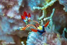Scuba divers will delight in the colourful critters such as nudibranchs that can be found on the dive sites of Diani Beach, Kenya, a photographers dream! Underwater Creatures, Underwater Life, Ocean Creatures, Beautiful Sea Creatures, Animals Beautiful, Diani Beach, Sea Snail, Sea Slug, Sea Dragon