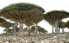 whoa... the island of socotra has been isolated from the continent of africa for 7 million years so the plants and animals evolved on their own and look completely different from any others on earth
