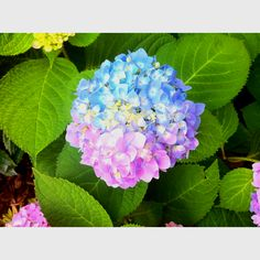 青とピンクのあじさい、綺麗ですー!Obsession with flowers (: