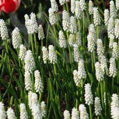 Muscari Botryoides Album, Pärlhyacint, vit. Denna vita pärlhyacint blommar i april. Den blir ca 15 cm hög. Plantering utomhus under höst.