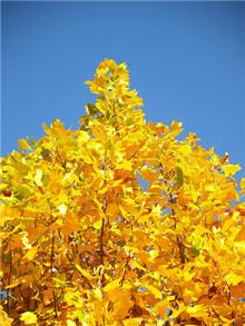 Tulip Poplar Trees--very fast growing tree with giant gold blooms in the spring, lush green leaves for shade in the summer, and then a magnificent yellow display in fall.  Grows cone shaped without pruning.