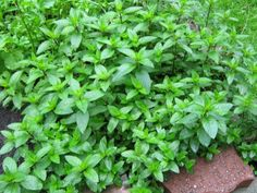 Mint - A Top Beneficial Herb