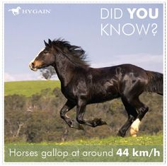 All horses move naturally with four basic gaits: the four-beat walk, which averages 6.4 km/h (4.0 mph); the two-beat trot or jog, which averages 13 to 19 km/h (8.1 to 12 mph) (faster for harness racing horses); and the leaping gaits known as the canter or lope (a three-beat gait that is 19 to 24 km/h (12 to 15 mph), and the gallop. The gallop averages 40 to 48 km/h (25 to 30 mph). The world record for a horse galloping over a short, sprint distance is 88 km/h (55 mph). www.hygain.com.au