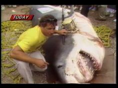 World's Biggest Shark caught on a rod and reel. August 1986....sickens me....