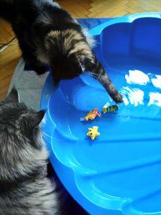 Maine Coon Katze Mystery und Kater Spirit plantschen im Katzenpool mit den Wassertieren Maine Coon, Mystery, Outdoor Decor, Maine Coon Cats, Water Animals, Arts And Crafts, Seasons Of The Year
