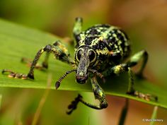 The Botany Bay diamond beetle (Chrysolopus spectabilis), is a species of weevil found in south-eastern Australia. It was discovered during James Cook's first voyage, and became the first insect to be described from Australia. Rainforest Insects, Amazon Rainforest, Rainforest Creatures, Weird Insects, Bugs And Insects, Beetle Insect, Beetle Bug, Macro Photography, Animal Photography