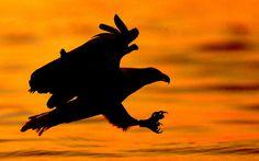 An African Fish Eagle at Kenya's Lake Naivasha swoops down on the lake to grab  a fish just as the rays of the sun emerge on this world famous lake. Camera: Nikon D300 Lens: Nikon 300mm