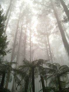 Gum trees in the mist, near Sherbrooke Falls, Victoria, Australia Winter In Australia, Australia Travel, Cool Countries, Countries Of The World, Gorillas In The Mist, Victoria Australia, Autumn Trees, Go Outside, Mists