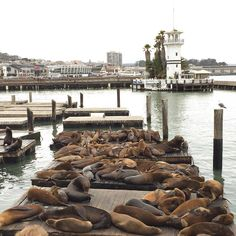 If you're in #sanfrancisco and looking for a laugh get down to pier 39. Not only are there heaps of cool shops and restaurants to check out (think Santa Monica pier in L.A but bigger) there are these hilarious sea lions! It looks like a game of musical chairs as they all try to fit on the same pontoon. Check it out!