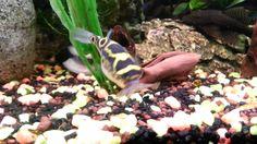 Palembang Pufferfish/ Palembang Kugelfisch on the Hunt !!!